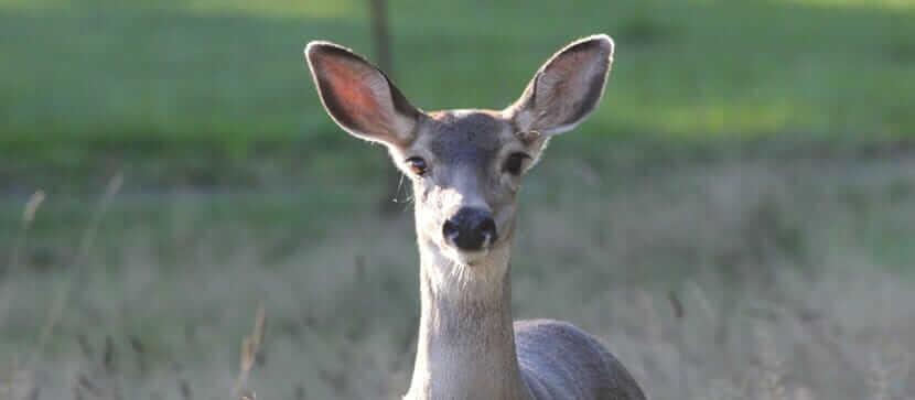 DeerFeature